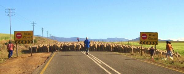 Sheep herding by Averil