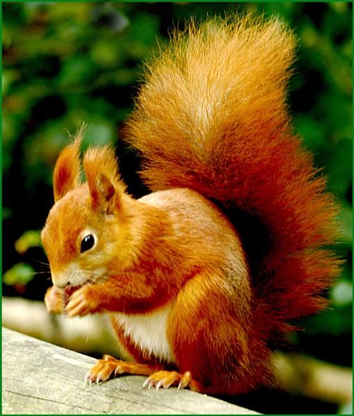 Red Squirrel - Sciurus vulgaris 06. by Badgerfred