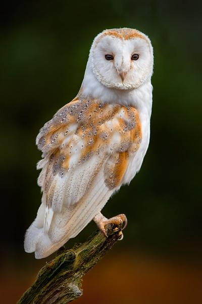 Barn Owl 3 by BobA