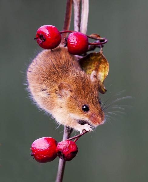 Harvest Mouse by Misty56