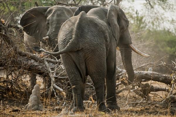 Bull Elephants by rontear