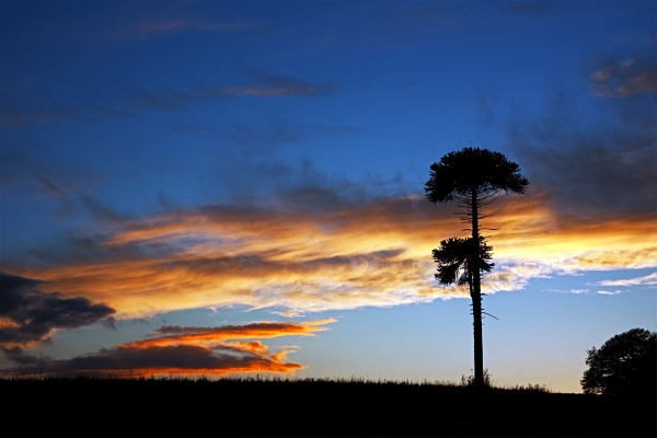 Lonesome Pine by caromal