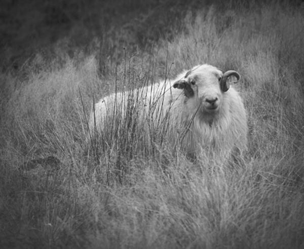 Welsh Mountain Ram by wynn469
