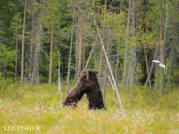 FIGHTING BEARS by LeeFisher