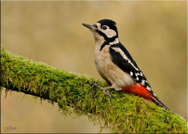 Great Spotted Woodpecker ( Female) by Glyn1