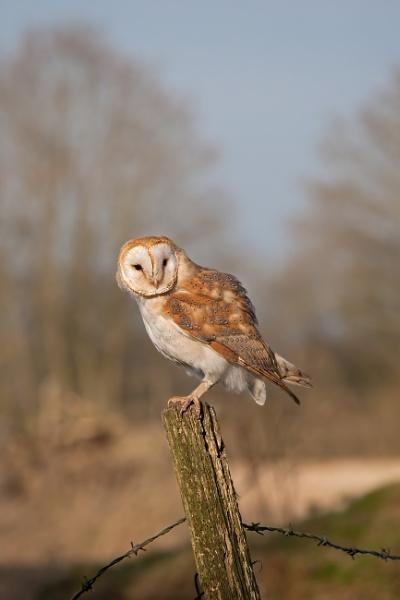 Barn Owl (Tyto alba) by Ray_Seagrove