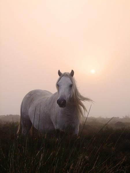 Pony  in  morning  mist by pantheonrider