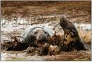 Persistent Bull Seal