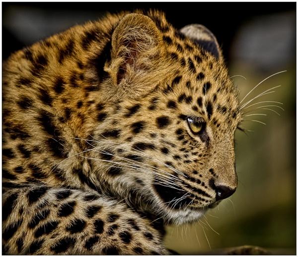 Amur leopard cub II by AnnChown