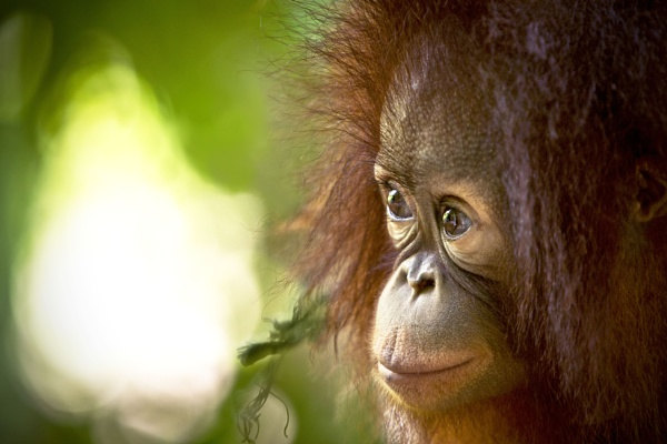 Orang Baby by cat001
