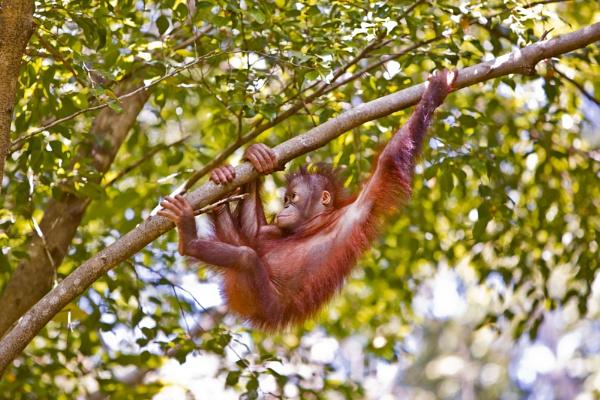 Climbing Orangutan by cat001