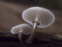 Porcelain Fungus
