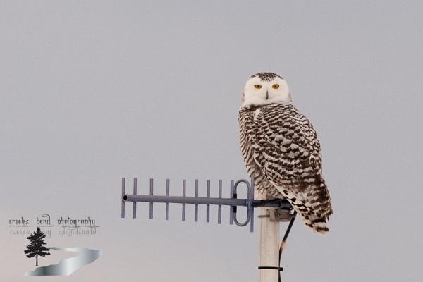 raised eyebrow from my snowy owl buddy by inntrykk