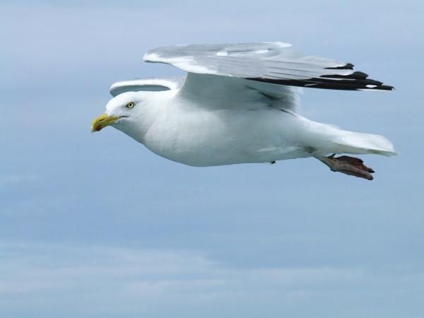 sea gull by pics20000