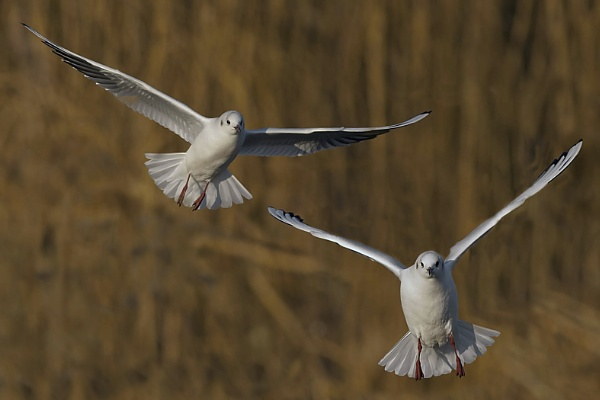 Black-headed Gulls by Fotofunguy