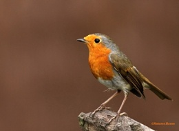 When The Red Red Robin Goes Bob Bob........