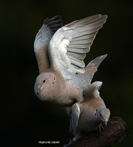 On The Wings Of A Dove.. by NaturesHaven