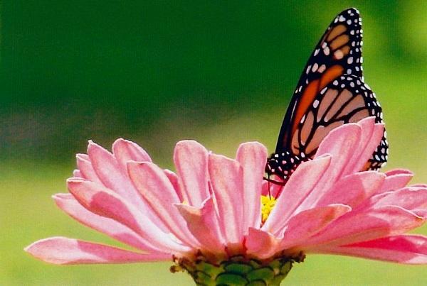 beautiful butterfly by blkwolf007