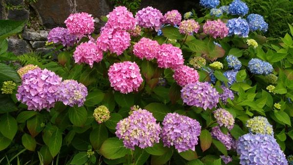 Colourful Hydrangeas by kaylesh