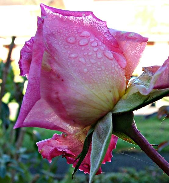 Raindrop Rose 2 by MidnightMaya