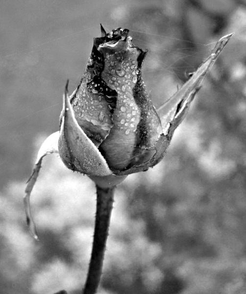 Black and white rose by MidnightMaya