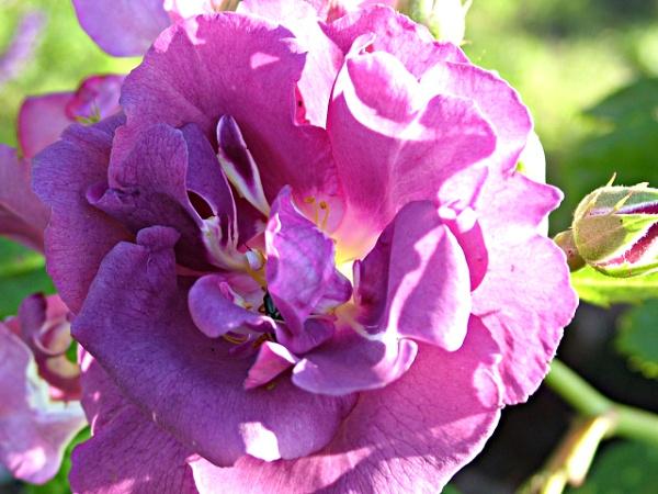 Purple by MidnightMaya