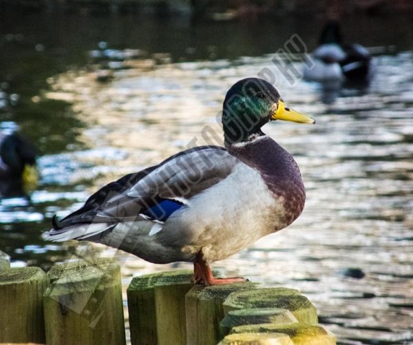 Duck by Bingsblueprint