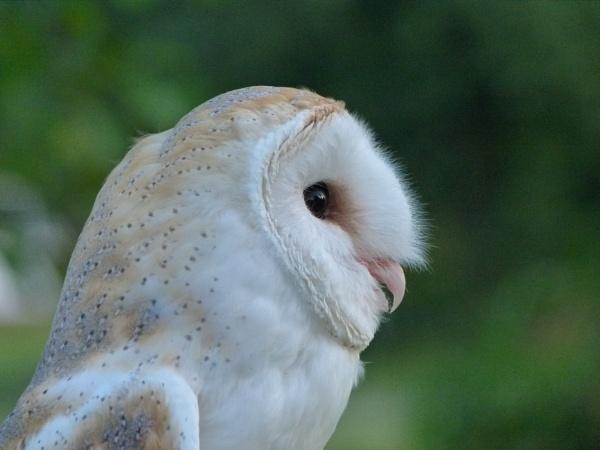 Barn Owl by flupitt