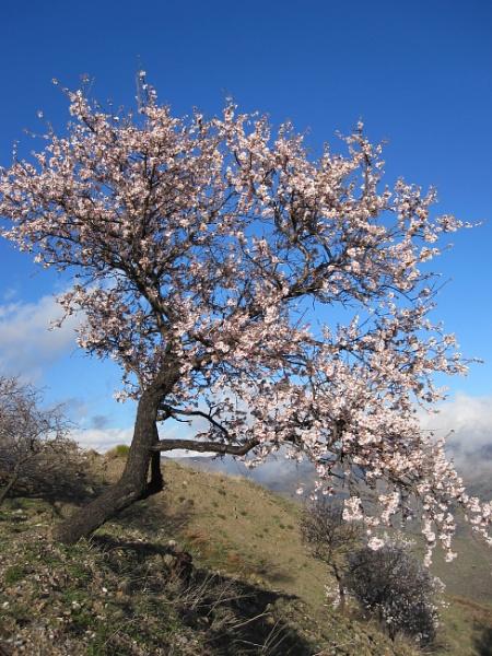 Almond Tree by flupitt