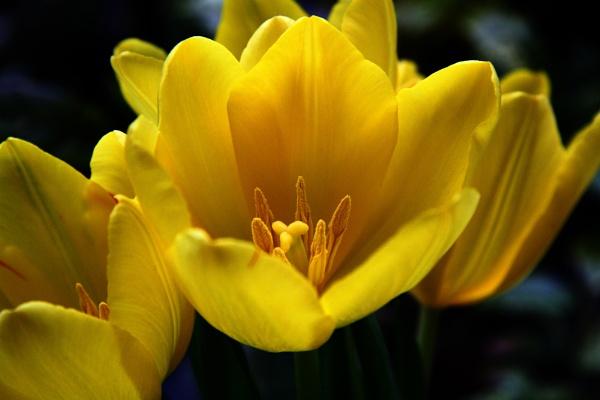 Sunshine Tulip by boov