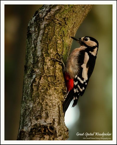 Great Spotted Woodpecker by Norfolkboy