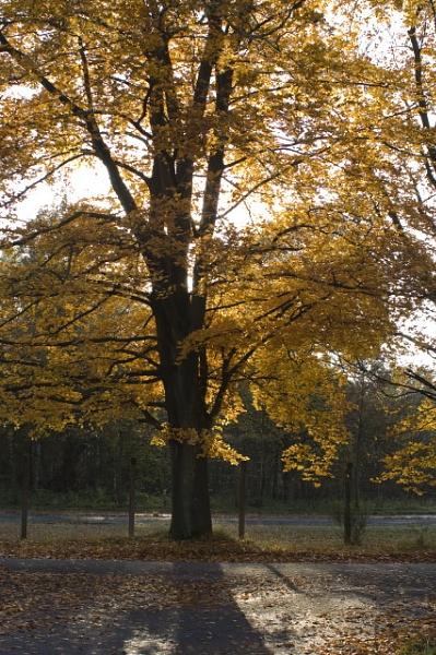 Autumn tree by lionking