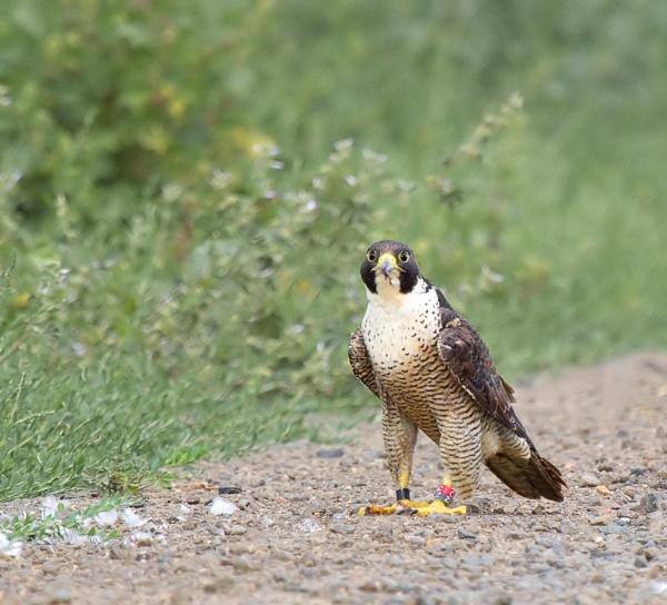 Peregrine Falcon Feeding Time by Davesumner