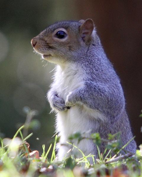 A Grey Squirrel by mark1309