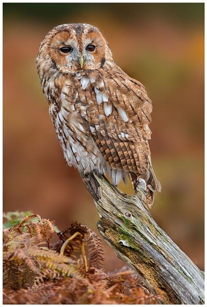 Tawny Owl by BobA