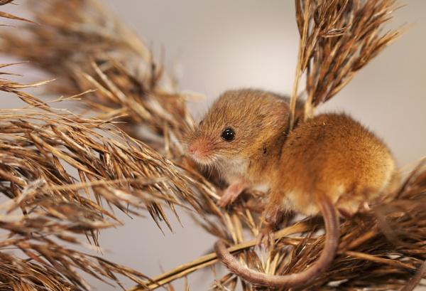 Harvest Mice by Misty56