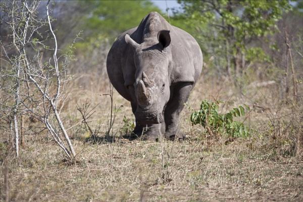 White Rhino by rontear