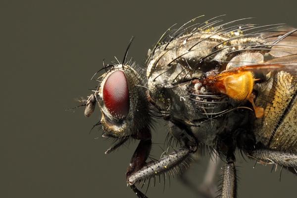 Housefly by Ade_Osman