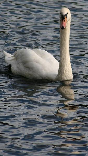 Swan by gardenersteve