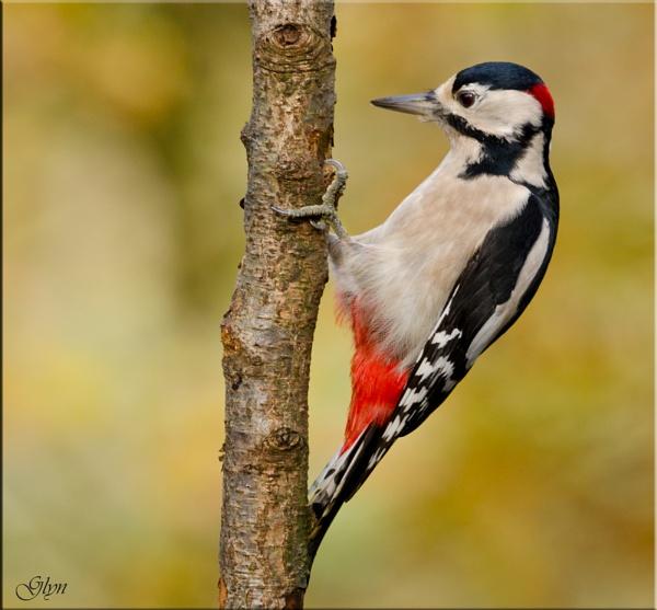 Male Woodpecker by Glyn1