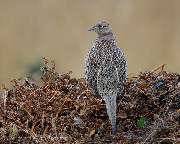 Pheasant (female) by WindowonWildlife