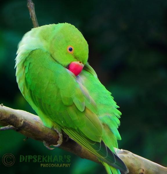 Parrot by dipsekhar