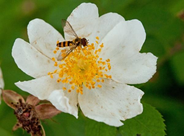 Wild rose by dasher