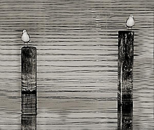 B+W Seagulls by sabery