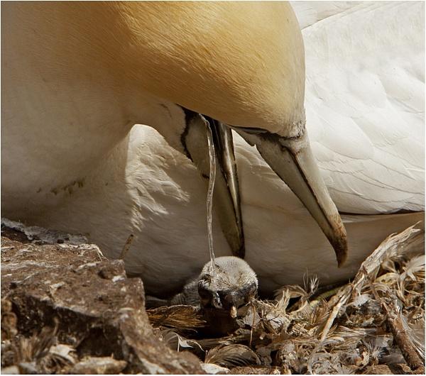 Gannet chick by hibbz
