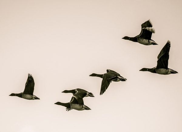 Brent Geese by cats_123