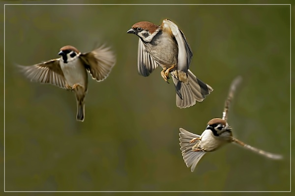 Tree sparrows by Fotofunguy