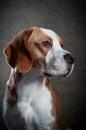Brewster Beagle
