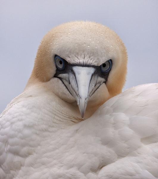 Fierce looking gannet. by AnnJ