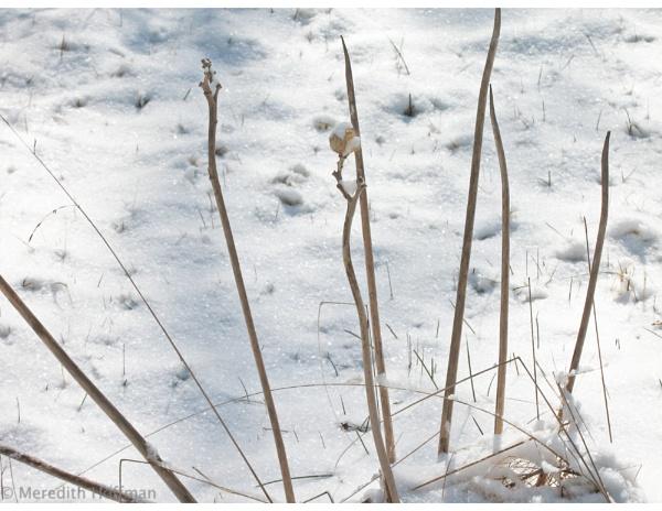 Icy Stalks